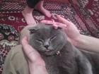 Уникальное фото Вязка кошек вислоухая шотландка на вязку 68882590 в Краснодаре