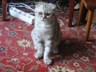 Продаётся прекрасный шотландский котёнок Продаётся прекрасный котёнок породы ско