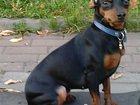Фото в Потерянные и Найденные Потерянные 26. 09. 2015 пропала собака породы Цвергпинчер в Красногорске 0