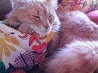 Уникальное фото Отдам даром Отдам Красивого, Умного И Доброго Кота 33780419 в Красногорске