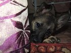 Изображение в Собаки и щенки Продажа собак, щенков Алиса ищет дом! Отдам щенка в добрые руки. в Красноярске 0