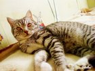 Фотография в Кошки и котята Вязка Ищем кошку для связки. Шотландский остроухий в Красноярске 3000