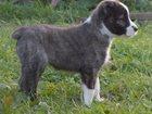 Среднеазиатская овчарка фото в Шарыпово