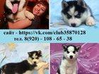 Фотография в Собаки и щенки Продажа собак, щенков В продаже - синеглазые малыши хаски!   У в Красноярске 0