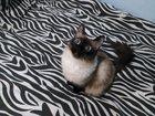 Фотография в Кошки и котята Вязка Ищем сиамского кота в красноярске в Красноярске 1