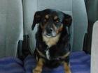 Фото в Потерянные и Найденные Найденные потерялась моя собака люся, в районе аэрокосмической в Красноярске 1000