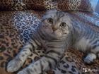 Смотреть фотографию Вязка шотландский вислоухий котик вязка 34858913 в Красноярске