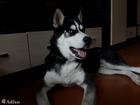 Фотография в Собаки и щенки Продажа собак, щенков продам обворожительного подростка хаски черно в Красноярске 9000
