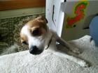 Фото в Собаки и щенки Продажа собак, щенков В связи с жизненной ситуацией, отдам в хорошие в Красноярске 0