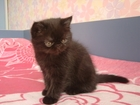 Скачать бесплатно foto Другие животные продам котенка экзота 35587095 в Красноярске