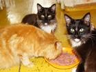 Фотография в Кошки и котята Продажа кошек и котят Питомник самых крупных домашних кошек породы в Красноярске 15000