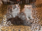 Изображение в Кошки и котята Продажа кошек и котят Персидские котята. Очень игривые и симпатичные в Красноярске 2000
