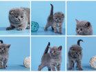 Фотография в Кошки и котята Продажа кошек и котят Продажа очаровательных шотландцев, с документами в Красноярске 10000