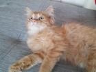 Изображение в   Подарю котенка (мальчик 1. 5 мес)в добрые в Красноярске 0