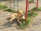 Фотография в Собаки и щенки Продажа собак, щенков Пес Тайсон попал в сложную жизненную ситуацию. в Красноярске 0