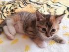 Уникальное фото Отдам даром Отдам голубоглазых котят 37637032 в Красноярске