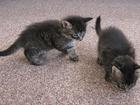 Изображение в   Игривые, активные и очень ласковые котята в Красноярске 100