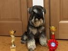 Скачать foto Вязка собак Кобель Цвергшауцера для вязки, 38231002 в Красноярске