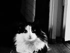 Изображение в Кошки и котята Вязка Пушистый черно-белый котик ищет себе пару) в Красноярске 0