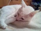 Фото в Кошки и котята Вязка Кот, проживающий на Пашенном, предположительно в Красноярске 0