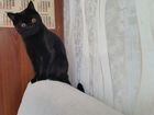 Изображение в   Шотландский кот скоттиш страйт   Привит в Красноярске 0