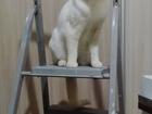 Уникальное фотографию Вязка кошек Голубоглазый блондин ищет подругу) 59595879 в Красноярске