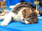 Скачать фотографию Вязка кошек Шотландский вислоухий кот приглашает 66553595 в Красноярске