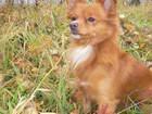 Увидеть изображение Вязка собак Срочно ищем невесту для красавца рыжика 66568672 в Красноярске