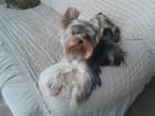 Смотреть foto Вязка собак Ищем девочку для вязки йорка, 68256687 в Красноярске