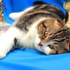 Шотландский вислоухий кот приглашает
