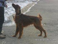 продам щенков сеттера Родились щеночки красного ирландского сеттера в красноярск
