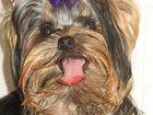 Фотография в   Продаются роскошные эксклюзивные щенки микро в Краснотурьинске 40000
