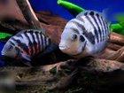 Изображение в   отдам стаю молодых рыб в добрые руки в Краснотурьинске 0