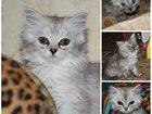 Фотография в   Роскошные, пушистые белые и серые котята в Кургане 0