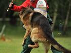 Скачать бесплатно foto  Дрессировка собак Видное Домодедово Подольск 34708880 в Видном