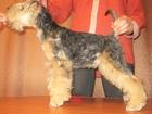 Изображение в Собаки и щенки Продажа собак, щенков Предлагаю щенка лейкленд терьера (суку) от в Кургане 30000