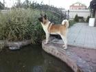 Фото в Собаки и щенки Вязка собак Нужен для вязки кобель Американской Акит в Кургане 0