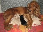 Фото в Отдам даром - Приму в дар Отдам даром Отдам в добрые руки красивых щенков спаниеля. в Кургане 0