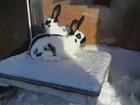 Смотреть foto  Продаю кроликов 38290824 в Кургане