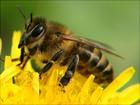 Скачать бесплатно foto  пчелопакеты 38603609 в Кургане