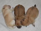 Фотография в Собаки и щенки Продажа собак, щенков Предлагаем к резервированию и дальнейшей в Кургане 30000