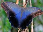 Уникальное изображение  Живые тропические бабочки Caligo Memnom Бабочки Лучший подарок! 39787218 в Новороссийске