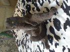 Фотография в Кошки и котята Вязка Шотландский вислоухий котик, окрас - голубой в Курске 0