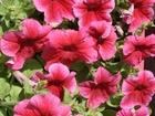Фото в Домашние животные Растения Предлагаем качественную рассаду однолетних в Курске 20