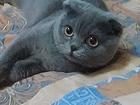Фотография в Кошки и котята Вязка Шотландская вислоухая кошечка ждет для вязки в Курске 500