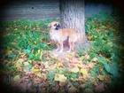 Скачать бесплатно фото Вязка собак Нужен кобель, смесь 2ух парод, мопса и пекинеса, 38362334 в Курске