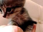 Смотреть изображение Продажа кошек и котят Ласковые домашние котята 2х месяцев ищут любящих хозяев 42181217 в Курске