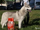 Вязка собак Сибирская хаска