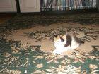 Изображение в Кошки и котята Продажа кошек и котят Красивая девочка, видна издалека!)Умная, в Ленинск-Кузнецком 0