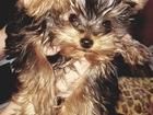 Фото в   Продам щенка Йоркшерского терьера. Мини-Мини. в Лесосибирске 15000